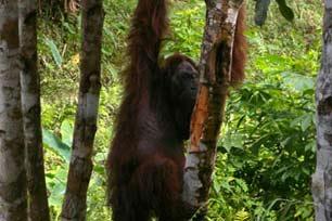 Melihat Orang Utan di Taman Nasional Kutai