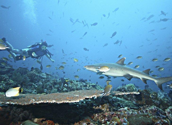 Diving Ekstrem Dikelilingi Hiu di Teluk Belongas, Lombok